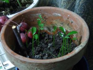 芽が出たシークワーサー