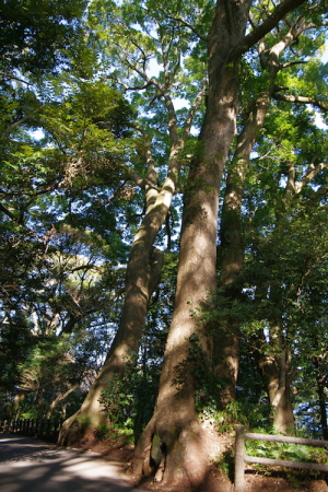 クスの大木