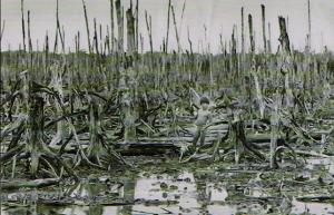 全滅したマングローブの森 1976年